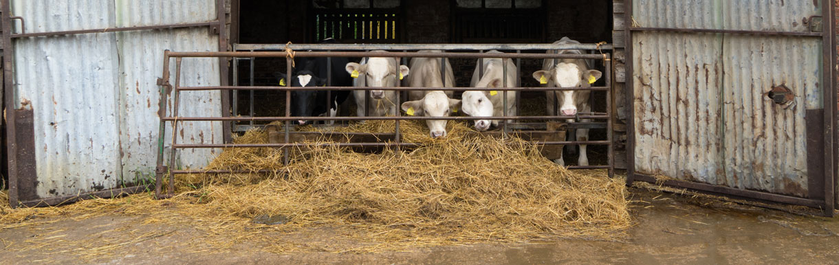 Bull and ram breeding evaluation