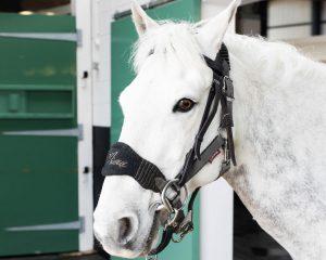 Grey horse, Alnothumbria Equine