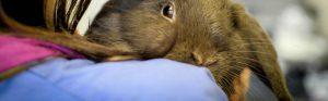 Light brown rabbit with vet