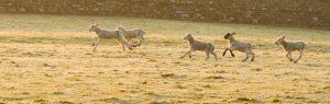 Lambs running across field
