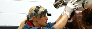 Alnorthumbria Veterinary Group, vet examining horse's teeth